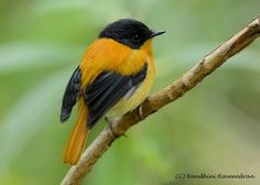 Black-and-orange flycatchers are a near-threatened flycatcher endemic to the central and southern Western Ghats, the Nilgiris and Palni hill ranges in southern India. (Nandhini Raveendran)