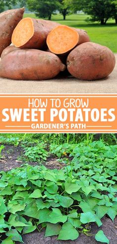 Sweet potatoes are the healthy root vegetable that everyone loves. They suit any meal and roasting turns transforms them into a caramelized nutritious treat. Would you believe they?re one of the easiest annual edibles to grow? Just imagine what they tas Potato Gardening, Organic Gardening, Gardening Tips, Planting Potatoes, Growing Herbs, Growing Vegetables, Gardening Vegetables, Permaculture, Sweet Potato Plant