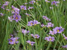 Blue-eyed grass 'Lucerne'