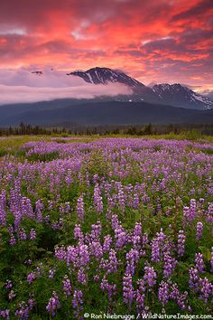 Field of Lupine at sunrise, Chugach National Forest, Kenai Peninsula, Alaska.I live here! in kenai. Seward Alaska, Kenai Alaska, Alaska Usa, Alaska Trip, Alaska Cruise, Kenai Peninsula, National Forest, Landscape Photos, Nature Photos