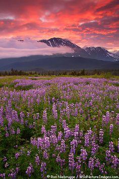 Field of Lupine at sunrise, Chugach National Forest, Kenai Peninsula, Alaska