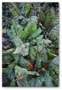 Growing Kale, Planting Kale, How to Grow Kale