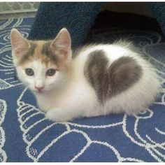 Little love kitten <3 Memories of my beloved Keeshka with her heart of fur!
