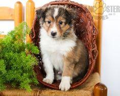 #ShetlandSheepdog #Charming #PinterestPuppies #PuppiesOfPinterest #Puppy #Puppies #Pups #Pup #Funloving #Sweet #PuppyLove #Cute #Cuddly #Adorable #ForTheLoveOfADog #MansBestFriend #Animals #Dog #Pet #Pets #ChildrenFriendly #PuppyandChildren #ChildandPuppy #LancasterPuppies www.LancasterPuppies.com Sheltie Puppies For Sale, Dogs And Puppies, Sheep Dog Puppy, Dog Cat, Shetland Sheepdog Puppies, Lancaster Puppies, Animals Dog, Rottweiler, Mans Best Friend