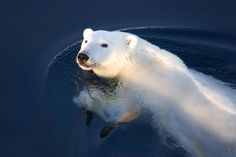 A Polar Bear Glance Photograph - A Polar Bear Glance Fine Art Print