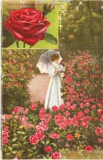Flowers Are Fun!: 1905 American Beauty Rose Vintage Postcard