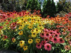 Társnövények a bíbor kasvirág mellé – mit válasszunk? | Hobbikert Magazin Beautiful Flowers, Garden Ideas, Plants, Flowers, Landscaping Ideas, Backyard Ideas