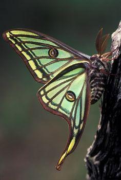 Spanish Moon Moth (Graellsia isabellae), Pyrenees, Spain