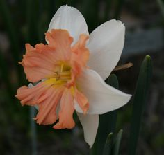 'Michael's Dream', another split-corona daffodil with a pink cup