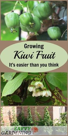 kiwi fruit is easier than you think. Here's everything you need to know about growing this fruit.Growing kiwi fruit is easier than you think. Here's everything you need to know about growing this fruit. Fruit Plants, Fruit Garden, Edible Garden, Fruit Fruit, Kiwi Growing, Growing Fruit Trees, Dwarf Fruit Trees, Indoor Fruit Trees, Organic Vegetables