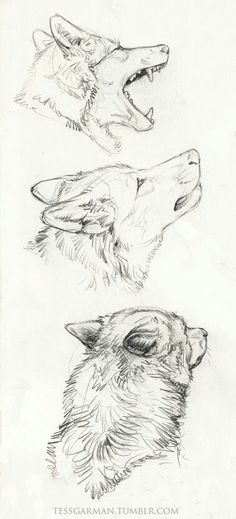 Wolf sketch, tumblr