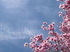 Magnolia -
