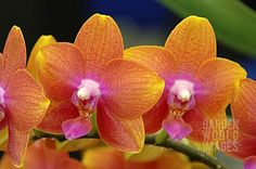 Brother Orchid Nursery | ... 'BROTHER PEPRIDE' (ORCHID) : Asset Details -Garden World Images