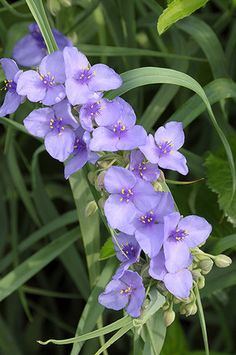 Ohio Spiderwort (Tradescantia ohiensis) will flower in late Spring and enjoys moist soils. Sun Plants, Fall Plants, Blooming Plants, Garden Plants, Sweet Fern, Obedient Plant, Virginia Bluebells, Plant Delivery, Growing Greens