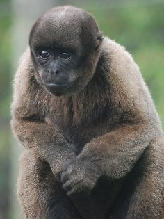 monkey woolly | Woolly Monkey by Paul Morley