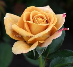 Treloar Roses - HONEY DIJON - warm golden brown. I will be the proud owner of this beautiful rose soon. Sooo can't wait!