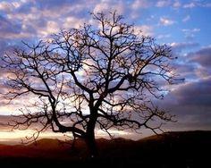 A árvore a beira de uma estrada, o vento já havia tocado tanto sobre ela, que seus galhos apresentavam uma enorme saliência, formando sombra para abrigar viajantes e peregrinos, seus enormes galhos serviam de armadores, seu caule de tanto dar encosto aos viajantes já apresentava uma grande cavidade