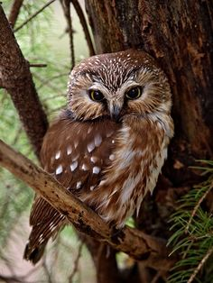 Northern Saw-whet owl - by Gary Blake http://www.dpreview.com/challenges/Entry.aspx?ID=295404 #raptor #birds #photography