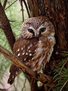 Northern Saw-whet owl - by Gary Blake…