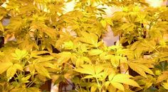 Growbook Autor – nicht ganz nach Plan - Wie fängt es an, wenn man zum Growbook Autor wird? Zuerst einmal mit dem Anbau vom Marihuana. Erste Notizen und Fotos folgen, dann das Growbook. Planer, Herbs, Pictures, Hemp, Herb, Medicinal Plants