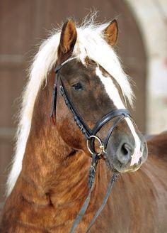 Black Forest Horse stallion Wildbach