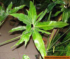 Philodendron hybrids Goldii X Stenolobum