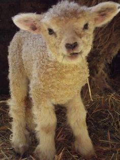 awwwweeeee baby lamb