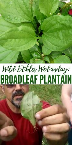Wild Edibles Wednesday: Broadleaf Plantain - Knowing your wild edibles is something that many people have no desire to learn .Its a strange thing. We are surrounded by wild food and medicine but we don't take the time to learn these things. You can use plantain to heal wounds or saute it up like spinach.