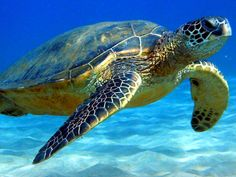 swimming-with-turtles
