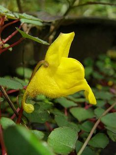 Impatiens repens, or Golden Dragon impatiens came from the rainforests of Sri Lanka and is now believed to be extinct in the wild.