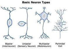 Three Types Of Neurons, The Cell, Neurology, Bing Images, Anatomy, Cute Funny Baby Videos, Cute Funny Babies, Cartoon, Wedding