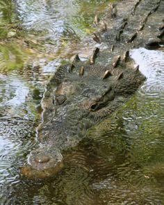 Crocodrilo americano -  Crocodylus acutus  https://www.facebook.com/pages/Anfibios-y-Reptiles-del-Mundo