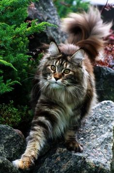Maine Coon cat...my louis looks just like this guy.