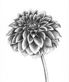 Dahlia flower tattoo awesome ideas 24 – We Otomotive Info - Blumen Flower Drawing Images, Pencil Drawings Of Flowers, Pencil Shading, Flower Sketches, Dahlia Flower Tattoos, Flower Tattoo Designs, Flower Art, Flower Ideas, Dalia Flower