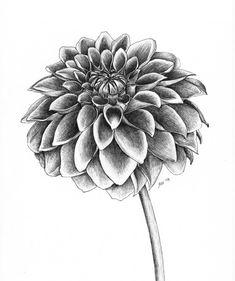 Dahlia sketch by fatboygotsick.deviantart.com on @deviantART