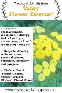 Tansy (Taking Action, Removes Lethargy, Procrastination & Lack of Energy) Flower Essence — Enchanted Living Spaces Healing Herbs, Natural Healing, Bach Flowers, Kundalini Meditation, Energie Positive, Lack Of Energy, Emotional Healing, Medicinal Plants, Flowers