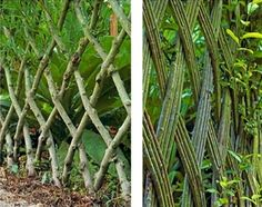 Two examples of a living fence attained by pleaching (or plashing), a technique of interweaving living and dead branches through a hedge for stock control. Trees are planted in lines, the branches are woven together to strengthen and fill any weak spots until the hedge thickens. Branches in close contact may grow together, due to a natural phenomenon called inosculation, a natural graft. Pleach also means weaving of thin, whippy stems of trees to form a basketry effect.