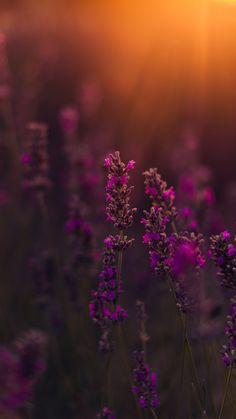 Fundo de tela flores de lavanda!  Veja mais wallpapers de flores e folhas no link!  #papeldeparede #background