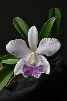 Lc. Mini Purple var coerulea by cbbxj69675, via Flickr