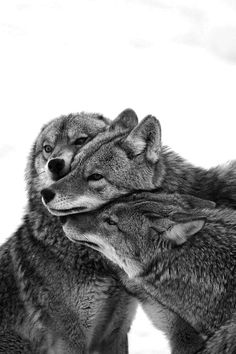 black and white, wolves