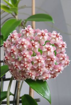 Hoya pubicalyx pink dragon just opened her flowers! Wax Flowers, Exotic Flowers, Green Flowers, Beautiful Flowers, Tropical Flower Arrangements, Tropical Plants, Tropical Flowers, Hoya Plants, Pink Dragon