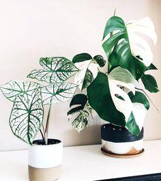 Green white houseplants are an absolute dream – 紫苑 – NeuPin Best Indoor Plants, Indoor Garden, Green Plants, Potted Plants, Foliage Plants, White Plants, Rare Plants, Plantas Indoor, Belle Plante