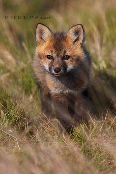 Curious Little Baby Fox