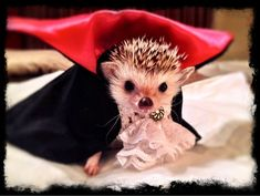 Cactus Mouse had his second and possibly the LAST fitting for his Count Hogula costume. He's already figured out how to get out of it so this is probably the best pic I'll get. The fangs totally make the costume! Cute Little Animals, Cute Funny Animals, Cute Dogs, Cute Babies, Animal Costumes, Pet Costumes, Diy Halloween Costumes, Hedgehog Pet Cage, Cute Hedgehog
