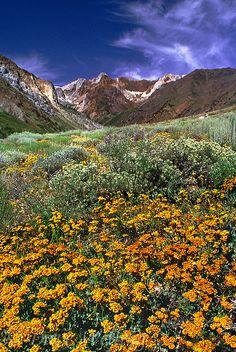 High desert wildflowers, Eastern Sierra in McGee Creek Canyon, California by Dave Welling