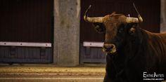 Extraordinaria temporada de la vacada extremeña que lidiará en Pamplona el 11 de julio, analizamos las ganaderías que estarán en la Feria…