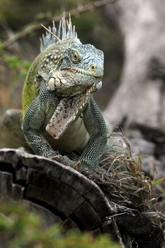 Green Iguana (Iguana iguana), Caribbean