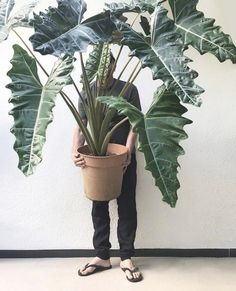 This plant looks like its straight out of a Jurassic Park movie! ⠀ ⠀ Or maybe Game of Thrones, as these leaves look like dragons! Big Plants, Rare Plants, Exotic Plants, Indoor Plants, Tropical Garden, Tropical Plants, Trees To Plant, Plant Leaves, Alocasia Plant