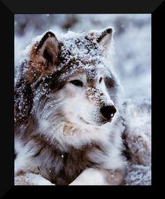 Winter Wolf.....gorgeous!