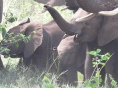 Large family group of elephants enjoy a dust bath